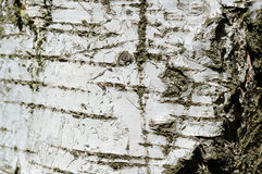 La corteza del árbol de abedul como fondo Imagen de archivo libre de regalías