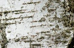 La corteza del árbol de abedul como fondo Fotos de archivo libres de regalías