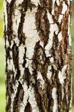 La corteza del árbol de abedul, textura Foto de archivo