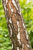 La corteza del árbol de abedul, textura Fotos de archivo