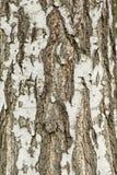 La corteza del árbol de abedul, textura Fotos de archivo libres de regalías