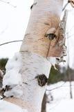 La corteza del abedul en invierno Foto de archivo libre de regalías