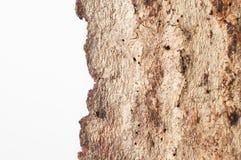 La corteza del abedul viejo en un fondo blanco Lugar para el texto Fotos de archivo