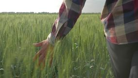 La cosecha de la cebada, tactos de la mano del granjero del top de las plantas verdes se cierra para arriba durante caminar entre almacen de video