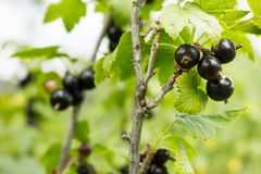 La cosecha de la grosella negra en los arbustos foto de archivo