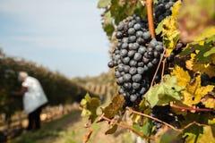 La cosecha de la uva Imágenes de archivo libres de regalías