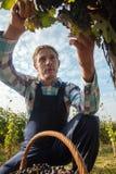 La cosecha de la uva Imagen de archivo libre de regalías