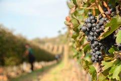 La cosecha de la uva Imagenes de archivo