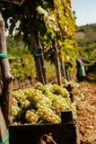 La cosecha de la uva Fotografía de archivo