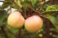 La cosecha de las manzanas del otoño es finalmente madura Fotografía de archivo