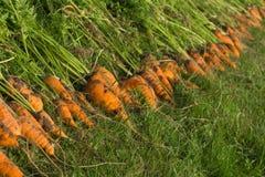 La cosecha de zanahorias Fotos de archivo