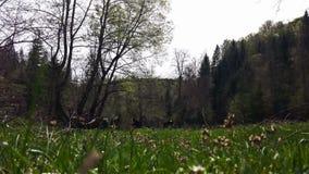 La cosecha del hombre ofende en el prado verde, paisaje pintoresco con la vaca en el fondo almacen de video