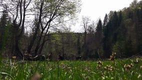 La cosecha del hombre ofende en el prado verde, paisaje pintoresco, vaca en el fondo metrajes