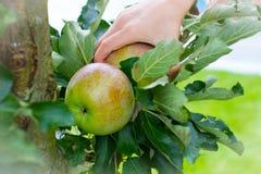 La cosecha del niño de la cosecha de manzanas cultiva un huerto manzana Fotografía de archivo