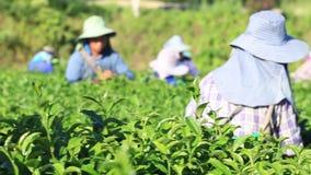 La cosecha del té como los trabajadores se mueve a mano laborioso con las filas largas de los arbustos del té bajo