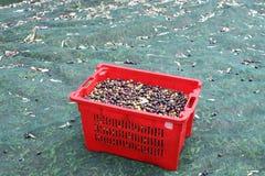 La cosecha verde oliva Fotografía de archivo libre de regalías