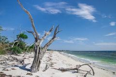 La Costa Beach. Remnants of trees on the south end of La Costa Island, near Captiva, Florida Stock Image