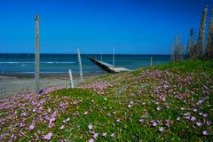 La costa con muchos soldanella del Enredadera-Calystegia del mar Fotografía de archivo libre de regalías
