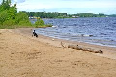 La costa del bacino idrico di Rybinsk nelle ricerche di stabilimento Regione di Yaroslavl immagine stock libera da diritti