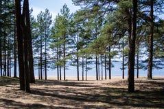 La costa del Mar Baltico, i pini e una sabbia puntellano il giorno soleggiato dell'estate Fotografie Stock