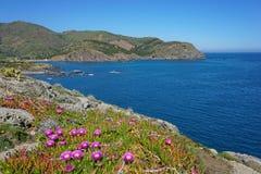 La costa rocciosa di Pirenei Orientales fiorisce la Francia Fotografie Stock Libere da Diritti