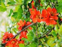 La cotogna dei mauledi fioritura rossi in primavera Fotografie Stock