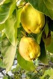 La cotogna matura appende in un albero soleggiato con fondo vago Fotografia Stock Libera da Diritti