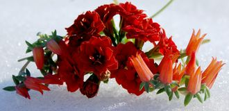 La couleur chaude des plantes tropicales et la blancheur froide de la neige images stock