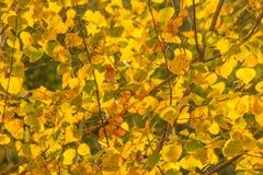 la couleur d'automne laisse le jaune Photo libre de droits