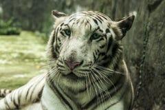 La couleur d'un tigre blanc est due au manque de colorants rouges et jaunes qui produisent habituellement l'orange photos stock