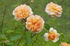 La couleur de pêche rosier, l'anglais a monté dans le jardin Images stock