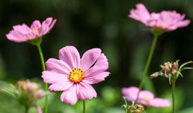 La couleur de rose de cosmos en parc Photos libres de droits