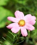La couleur de rose de cosmos en parc Images libres de droits