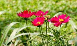 La couleur de rose de cosmos en parc Images stock