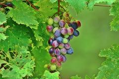 La couleur des raisins photo stock