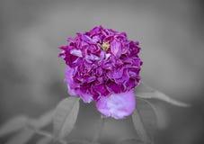 La couleur et le foyer sélectifs sur défraîchir la fleur pourpre se développent, b Photographie stock libre de droits