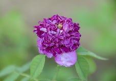 La couleur et le foyer sélectifs sur défraîchir la fleur pourpre se développent, b Photo libre de droits