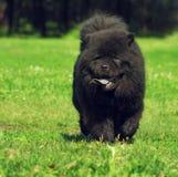 La couleur noire rare de Chow Chow de belle race pelucheuse de chien fonctionne en Th Photographie stock libre de droits