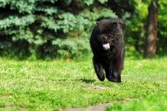 La couleur noire rare de Chow Chow de belle race pelucheuse de chien fonctionne en Th Photos stock