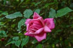 La couleur rose de la rose Images libres de droits