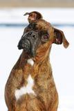 La couleur rouge de boxeur de race de chien se situe pendant l'hiver dans la neige, un port Images libres de droits