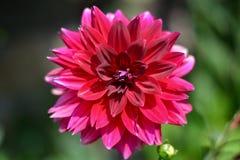 la couleur rouge lumineuse de cette fleur photographie stock libre de droits