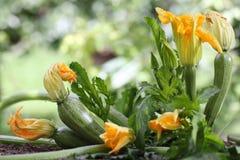 La courgette fleurit l'usine dans l'élevage de potager Image libre de droits