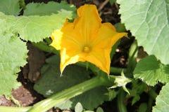 La courgette jaune de fleur plante l'élevage en serre chaude dans le jardin Photo libre de droits