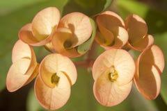 La couronne d'épines (Euphorbiengummi milii) Lizenzfreie Stockbilder