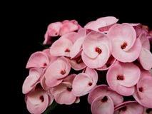 La couronne rose des throns fleurit, milli d'euphorbe, avec les feuilles vertes image libre de droits