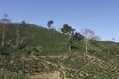 La courroie de café, également appelée Coffee Triangle en Colombie. Images stock