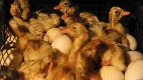 La covata degli anatroccoli dalle uova stock footage