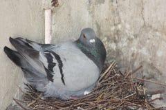 La covata del piccione eggs nella fucilazione del primo piano del nido Fotografia Stock Libera da Diritti