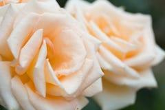 La crème de floraison s'est levée Photo libre de droits